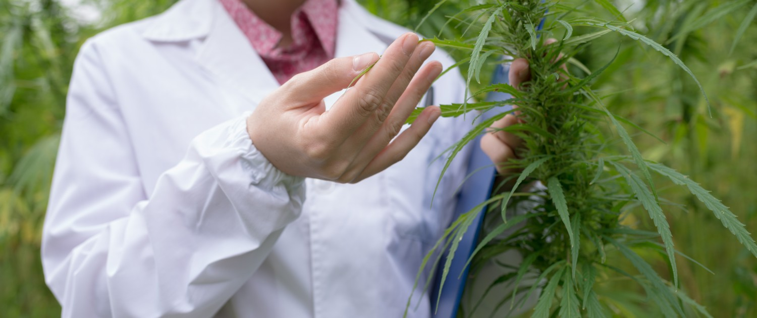 Doctor testing cannabis sativa flowers in the field
